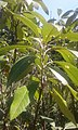 Leitneria floridana at Missouri Botanical Garden.jpg