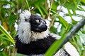 Lemur (26773415049).jpg