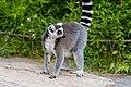 Lemur (36276434573).jpg