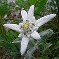 Leontopodium alpinum Szarotka alpejska 01.jpg