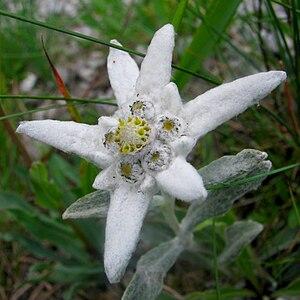 Ceahlău Massif - Leontopodium alpinum, edelweiss or floare de colţ is a protected species in Romania since 1933
