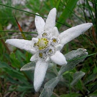 Leontopodium nivale - Image: Leontopodium alpinum Szarotka alpejska 01