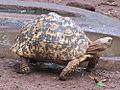 Leopard tortoise in Giraffe Centre 1.JPG