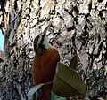 Lepidocolaptes angustirostris - on tree-4.jpg