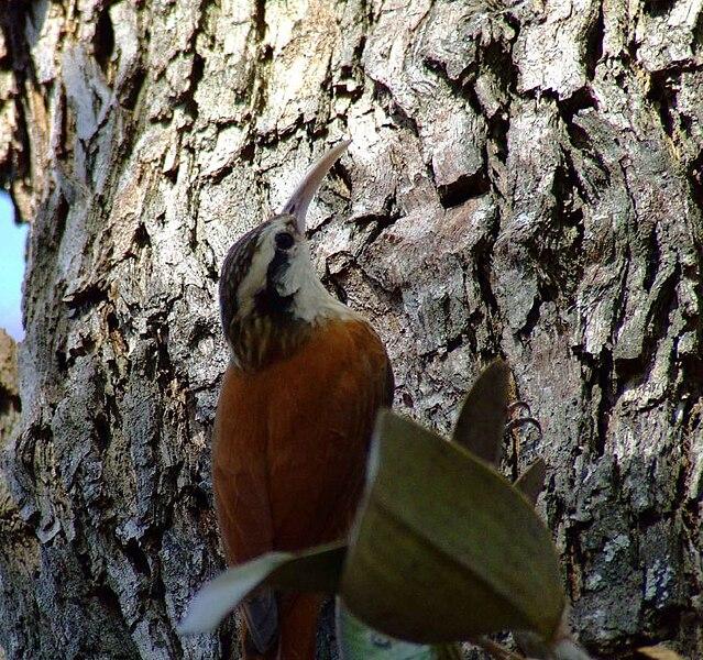 Ficheiro:Lepidocolaptes angustirostris - on tree-4.jpg