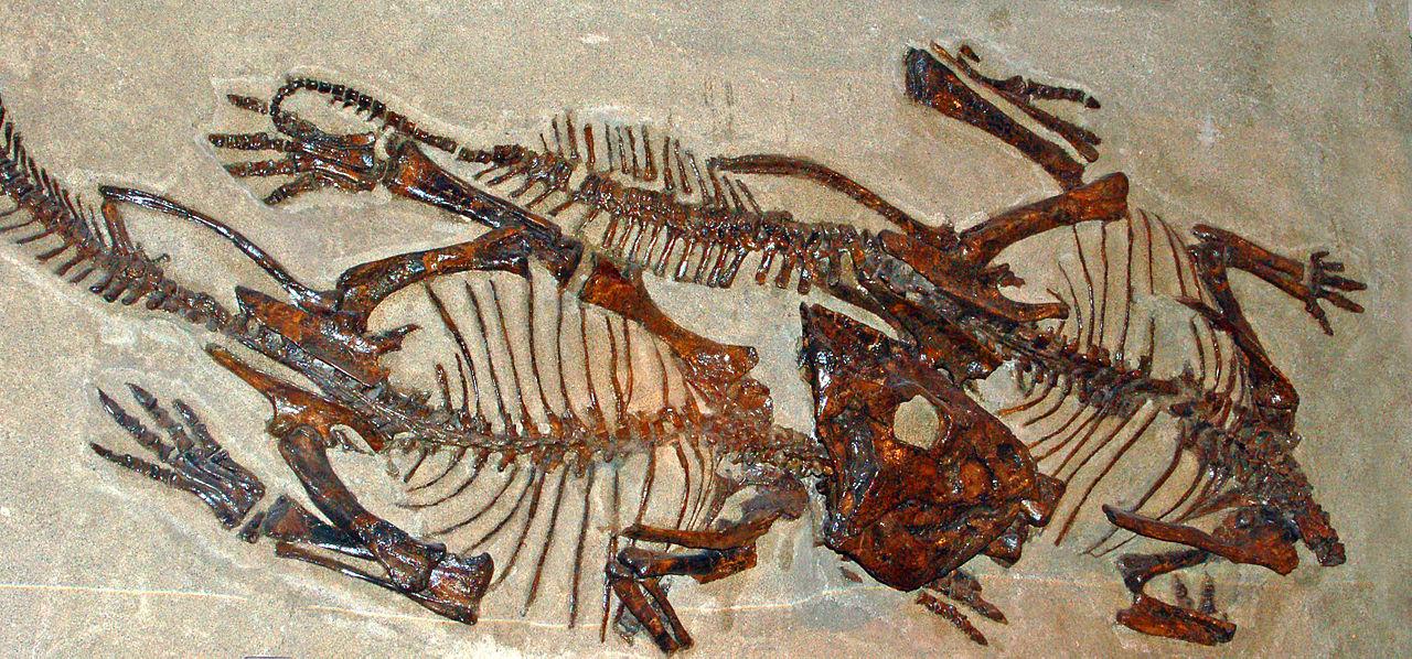 Leptoceratopsidae - Leptoceratops.JPG