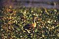 Lesser Whistling Duck (Dendrocygna javanica) (20158629854).jpg