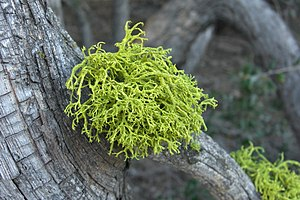 Vulpinic acid - The lichen Letharia vulpina gets its bright yellow color from vulpinic acid.