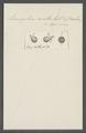Leucophra acuta - - Print - Iconographia Zoologica - Special Collections University of Amsterdam - UBAINV0274 113 16 0025.tif