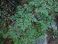 Ligusticum porteri leaves1.jpg