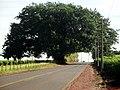 Linda árvore na Rodovia Rincão a Motuca - panoramio.jpg