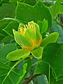 Liriodendron tulipifera 004.JPG