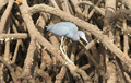 Little Blue Heron.png