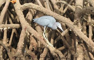 [Image: 320px-Little_Blue_Heron.png]