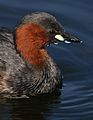 Little Grebe (or Dabchick), Tachbaptus ruficollis, at Marievale, Nature Reserve, Gauteng, South Africa (29349801021).jpg