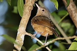 Little Shrikethrush (Colluricincla megarhyncha) (31301484561).jpg