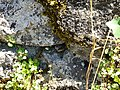 Lizard @ Saint-Jorioz (50489156516).jpg