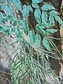 Llavea cordifolia.jpg