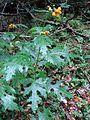 Loasa acanthifolia Desr por Pato Novoa - 106.jpg