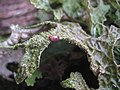 Lobaria macaronesica C. Cornejo & Scheid 407115.jpg