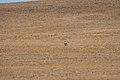 Lone Coyote (7979505332).jpg