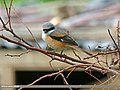 Long-tailed Shrike (Lanius schach) (23083250620).jpg
