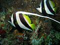 Longfin Bannerfish (5671676881).jpg