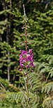 Lothar Path - Black Forest National Park - Chamaenerion angustifolium 01.jpg