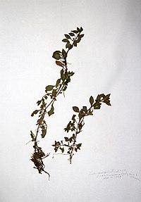Ludwigia palustris BW-1979-0914-0448.jpg