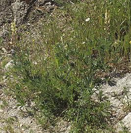 Lupinus gredensis 20130503 a.jpg