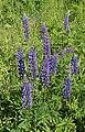 Lupinus polyphyllus UA 2011 G3.jpg