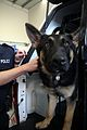 Luthor, trainee NSWPF dog unit - Flickr - Highway Patrol Images.jpg