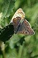 Lycaena tityrus 2(loz).jpg