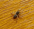 Lycosidae, wolf spider (34159509396).jpg