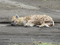 Lying Hyena in Lake Nakuru National Park.JPG