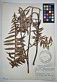 MNH DA 017-PAND-119 Freycinetia sphaerocephala Gaudich.jpg