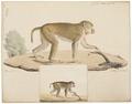 Macacus erythraeus - 1818-1842 - Print - Iconographia Zoologica - Special Collections University of Amsterdam - UBA01 IZ20000089.tif