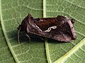 Macdunnoughia confusa - Dewick's Plusia - Металловидка-капля (27235281758).jpg