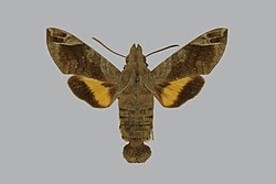 Macroglossum prometheus lineata, female, upperside. Australia, Queensland, n. Cairns, Kuranda.jpg