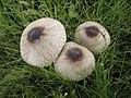 Macrolepiota phaeodisca 484410.jpg