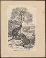 Macropus giganteus - 1700-1880 - Print - Iconographia Zoologica - Special Collections University of Amsterdam - UBA01 IZ20300013.tif