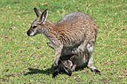 Macropus rufogriseus with joey in pouch leaning down.jpg