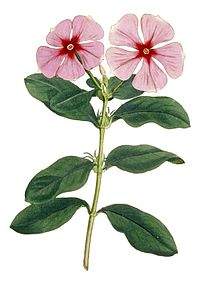 Madagascar periwinkle (Curtis)-cropped