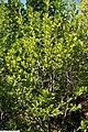 Magnolia stellata Royal Star 12zz.jpg