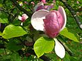 Magnolia x soulangeana 'Rustica Rubra' flower by Line1.jpg