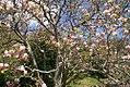 Magnolia x soulangiana Verbanica 3zz.jpg