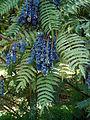 Mahonia lomariifolia takeda.JPG