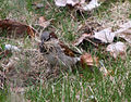 Male House Sparrow gathering grass for a nest 1.jpg
