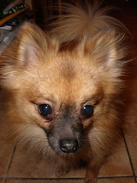 File:Male Pomeranian face.JPG - Wikimedia Commons Pomeranian Wiki