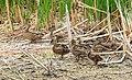 Mallard Hen and Brood on Sand Lake NWR (12793923534).jpg
